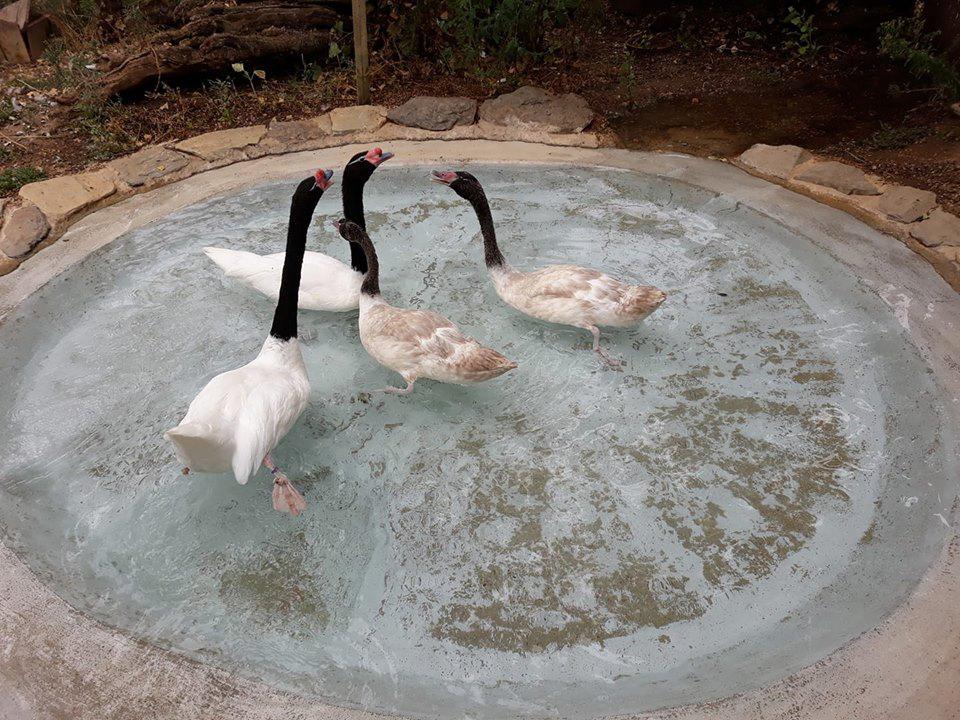 Cisne de Pescoço Preto