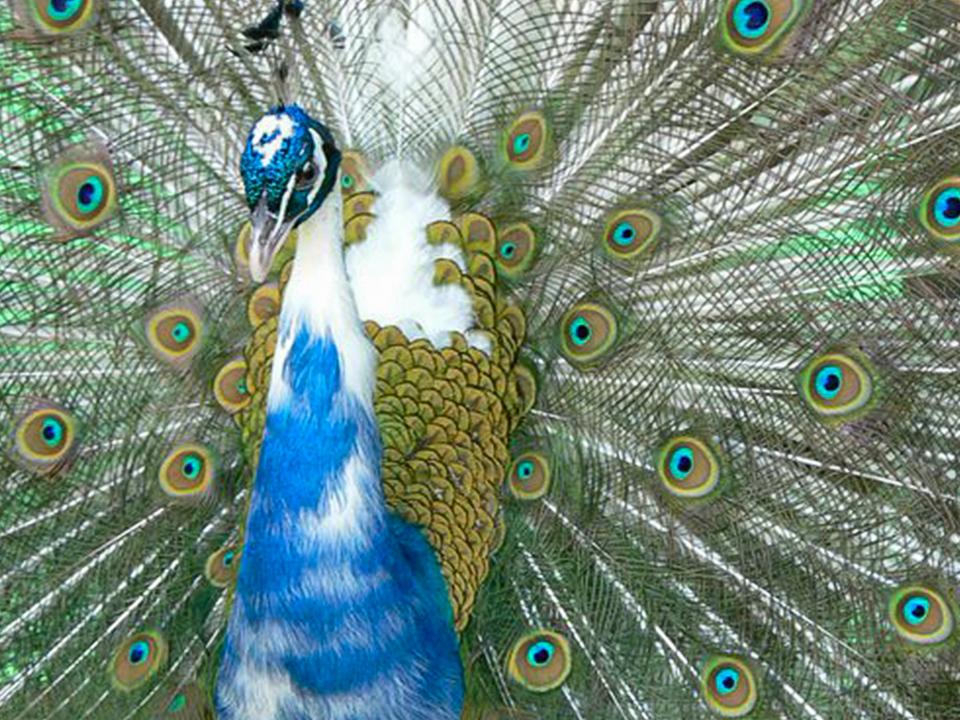 India Blue Pied